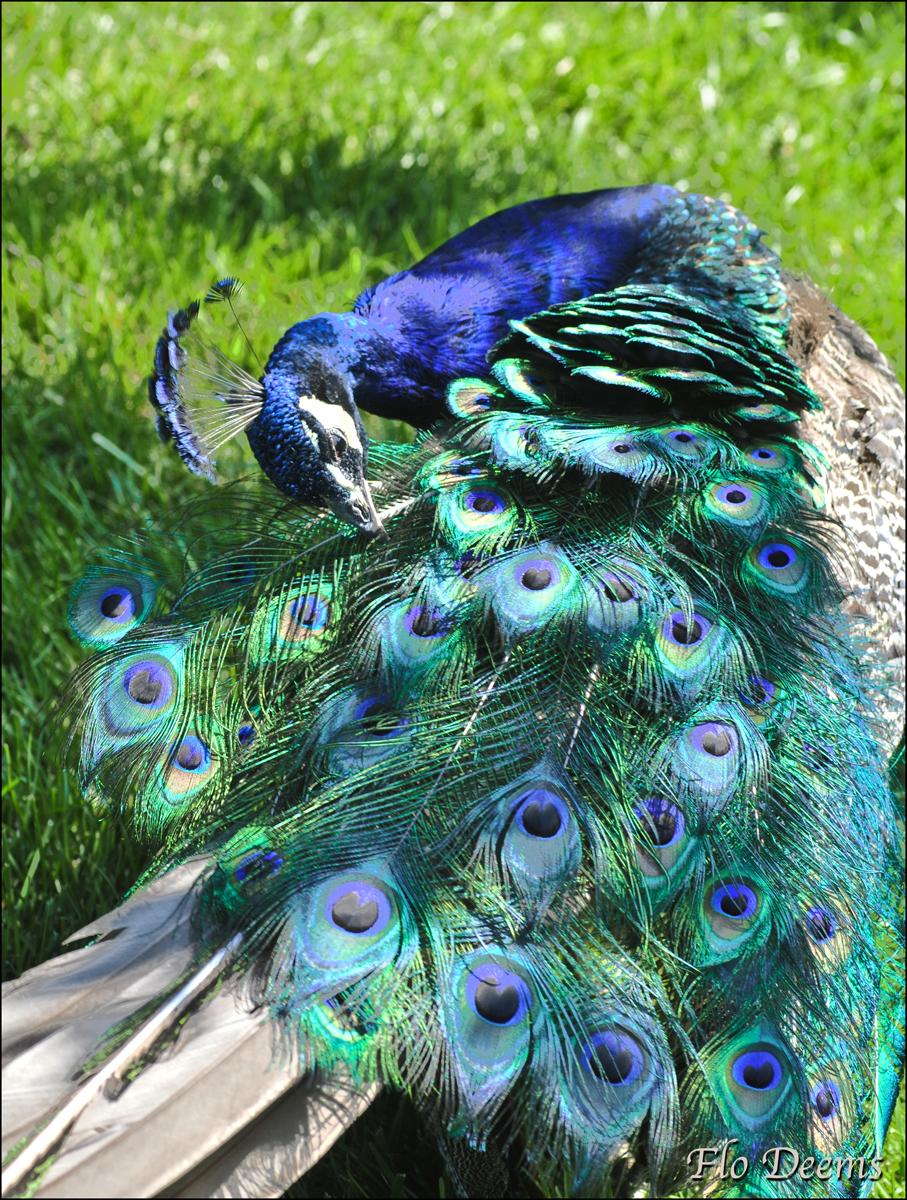 Peacock body outline - photo#15